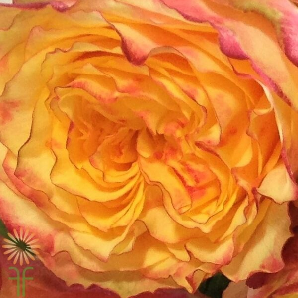 wholesale flowers | garden rose fiesta