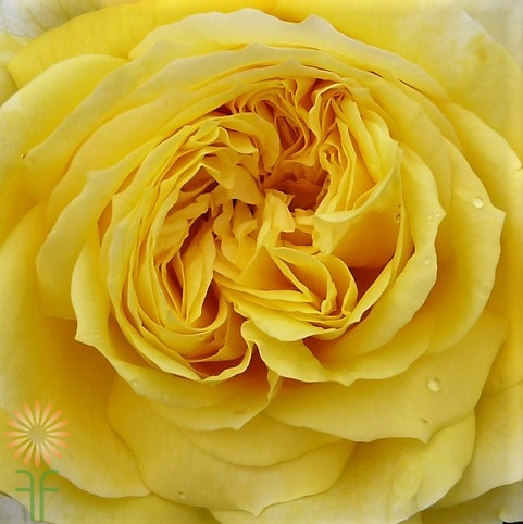 wholesale flowers | garden rose  toulouse