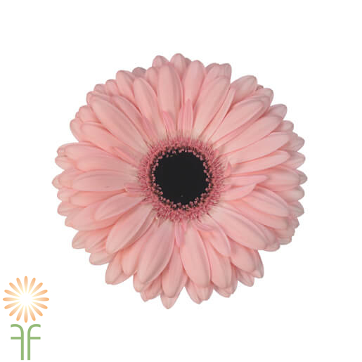 wholesale gerbera_daisy -BLUSH-PINK