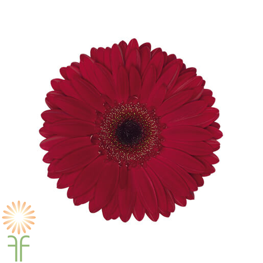 BURGUNDY-wholesale gerbera_daisy