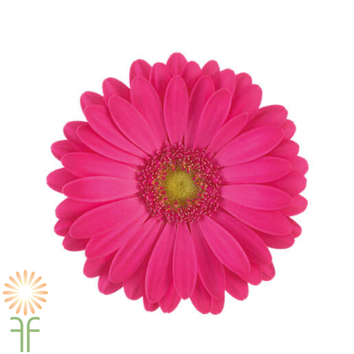 wholesale gerbera_daisy hot pink