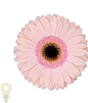 Gerberas-light Pink (10 Stems)