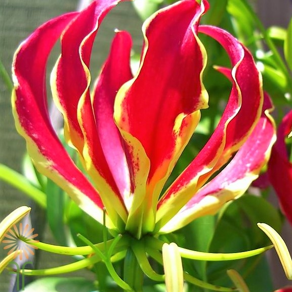 wholesale flowers | gloriosa lily red