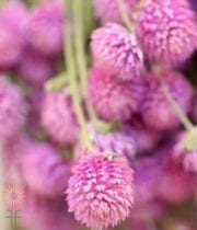 Light Pink Gomphrena
