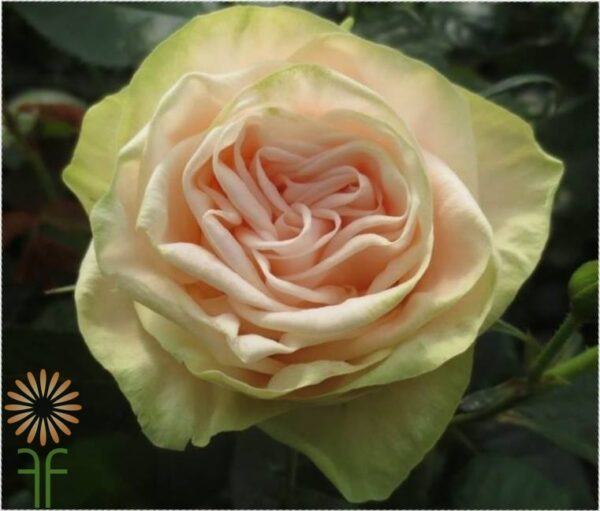 Buy wholesale fresh and stunning pink Gwendolyn garden roses