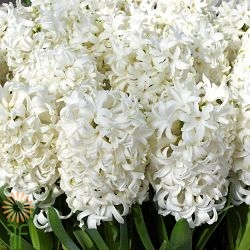 wholesale hyacinth-white