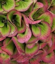 Wholesale Flowers | Hydrangea Antique- Green Red