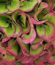 Hydrangea, Antique-green-burgundy