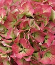 Hydrangea, Antique-green/dark Pink