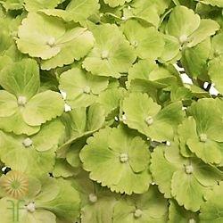 wholesale flowers | Hydrangea -lime green