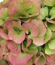 Hydrangea, Antique-green/blush