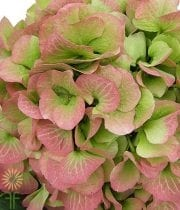 Pink And Green Jumbo Hydrangeas