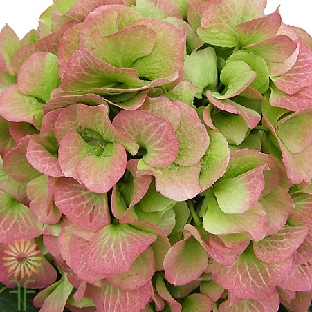 wholesale flowers | Hydrangea -jumbo dark pink