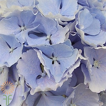wholesale flowers | Hydrangea jumbo-blue