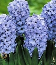 Hyacinth-light Blue