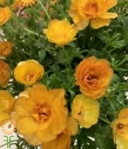 Orange Butterfly Ranunculus