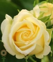 Rose, Spray CA-Lemon Ice-pale Yellow-EF