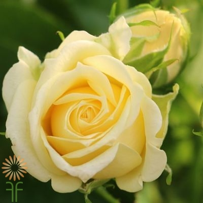 LEMON+ICE-YELLOW-SPRAY-ROSE