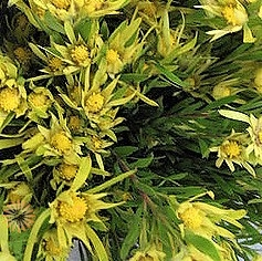 wholesale flowers | leucadendron- sunshine