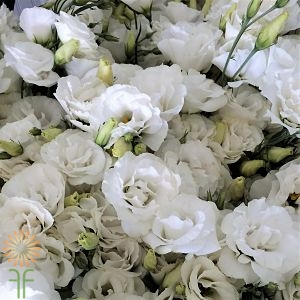wholesale flowers | lisianthus-ruffle white