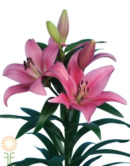 Dark Pink Hybrid Lilies Wholesale Flowers Diy Wedding Flowers