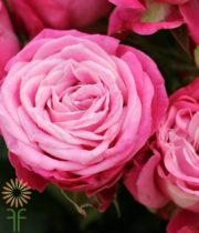 Pink Lady Bombastic Spray Roses