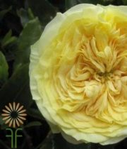Yellow Lemon Pompon Garden Roses