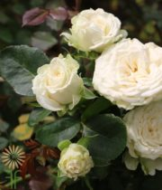 White Miss Bombastic Spray Roses