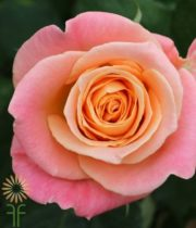 Peachy Pink Miss Piggy Roses