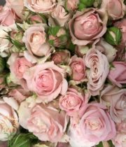 Blush Pink Muscadet Spray Roses