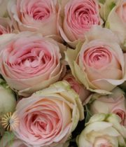 Blush Porcelain Lace Garden Spray Roses