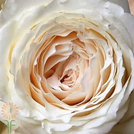 Buy fresh and stunning white Princess Miyuki garden roses online