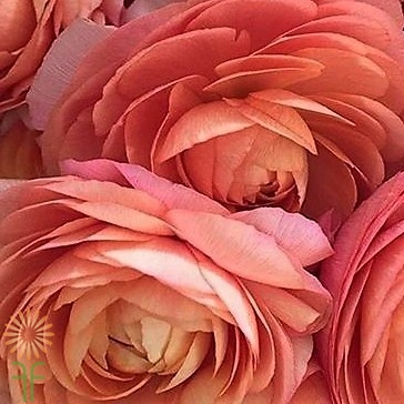 wholesale flowers | ranunculus tecate peach