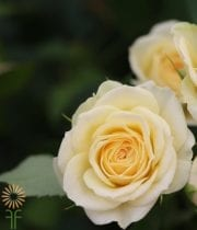 Light Yellow Averie Spray Roses