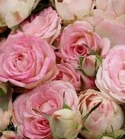 Blushing+Bride-PINK-SPRAY-ROSE_