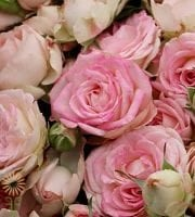 Pink Blushing Bride Spray Roses