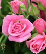 Pink Eileen Spray Roses