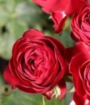 Red Garnet Gem Garden Spray Roses