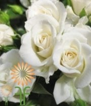 White Jeanine Spray Roses