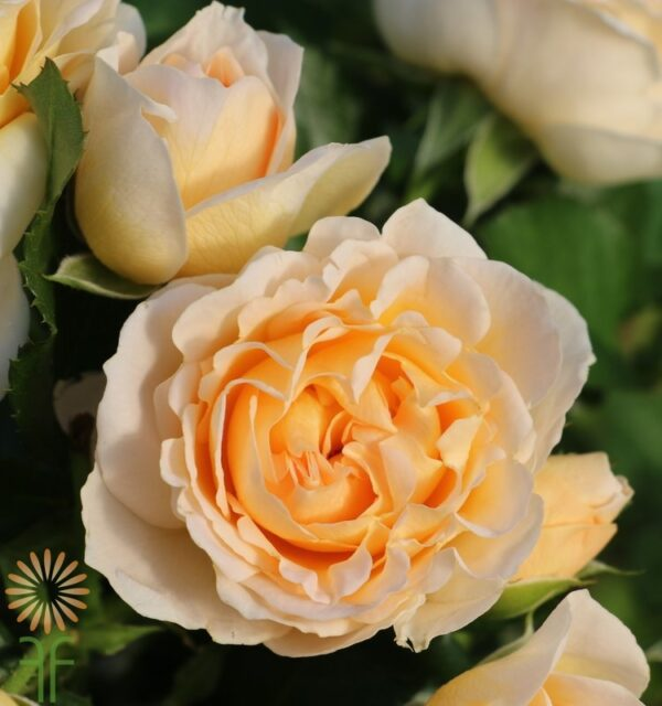 JULIANNE-SPRAY-ROSE