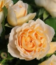 Peach Julianne Spray Roses