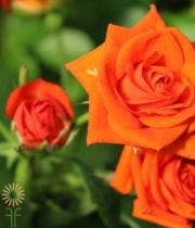 Rose, Spray CA-Jazzabel-orange-EF