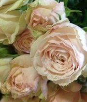 Rose, Spray CA-Malaya Gem-blush Pink-EF