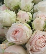 Blush Moonstone Gem Spray Roses, CA