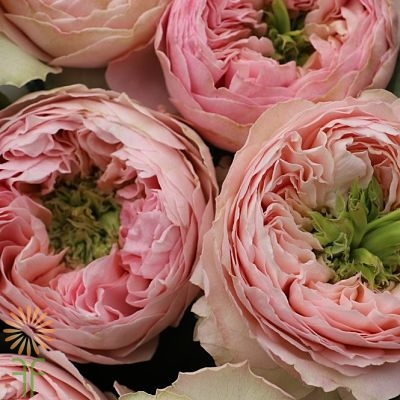 PINK+CLASSIQUE-SPRAY-ROSES