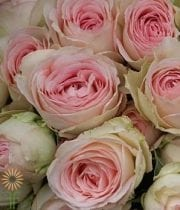 Blush Porcelain Lace Spray Roses
