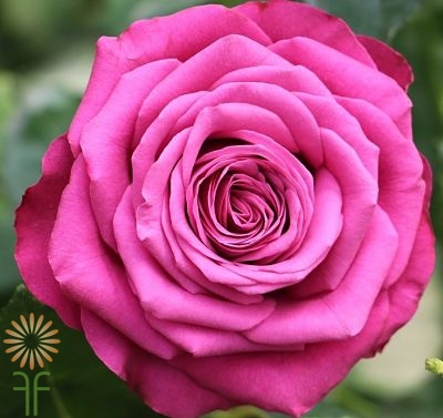 wholesale flowers   rose precious moments