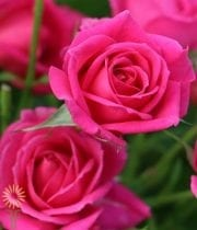 Hot Pink Quincy Spray Roses