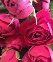 Red Ruby Gem Spray Roses