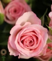 Pink Rowena Spray Roses